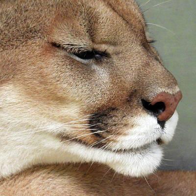 Target Threshold Nature - Cougar by David G Paul