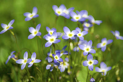 Photograph - Country Bluet Flowers by Christina Rollo