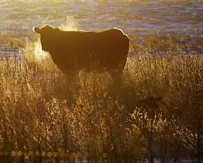 Photograph - Cow And Calf 02 by Rob Graham