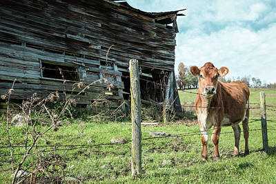 Photograph - Cow By The Old Barn, Earlville Ny by Gary Heller