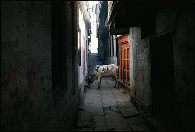 Photograph - Cow In An Alleyway by Chris Protopapas