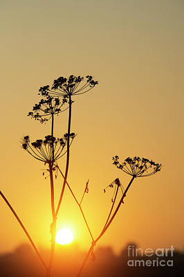 Art Print featuring the photograph Cow Parsley Seed Heads Silhouette by Tim Gainey