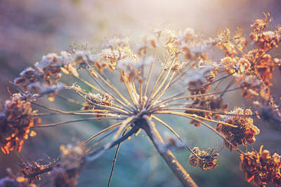 Cow Parsley Wall Art - Photograph - Cow Parsley Winter Frost by Carol Japp