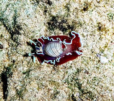 Winter Animals Rights Managed Images - Cowrie Royalty-Free Image by Christina Ford