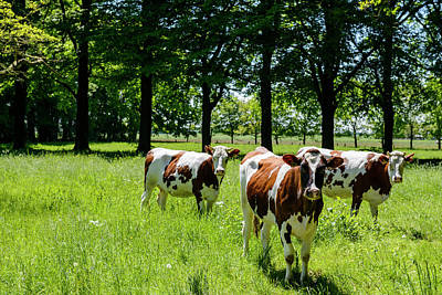 Photograph - Cows In A Field In Nature by Sjo