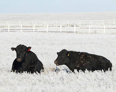 Photograph - Cows In Frost 01 by Rob Graham