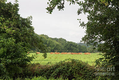 Photograph - Cows In The Pasture by Ruth H Curtis