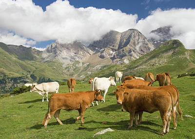 Photograph - Cows On Mountains Near Gavarnie by Andrew Luyten