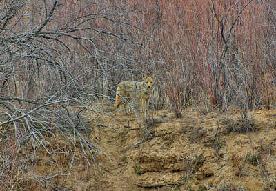 Photograph - Coyote In The Brush by Britt Runyon