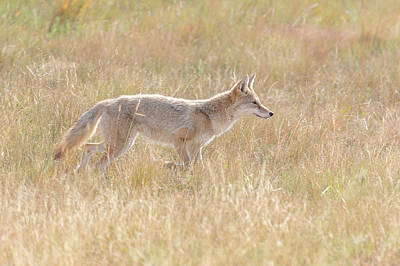 Winter Animals Rights Managed Images - Coyote On The Hunt Royalty-Free Image by Tony Hake