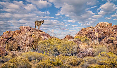 Photograph - Coyote On The Rocks by Rick Mosher