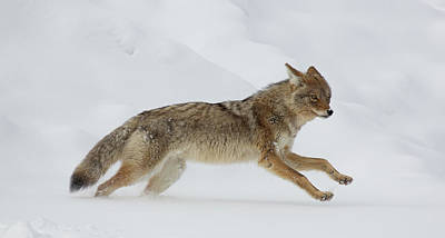 Wall Art - Photograph - Coyote On The Run by Martin Belan