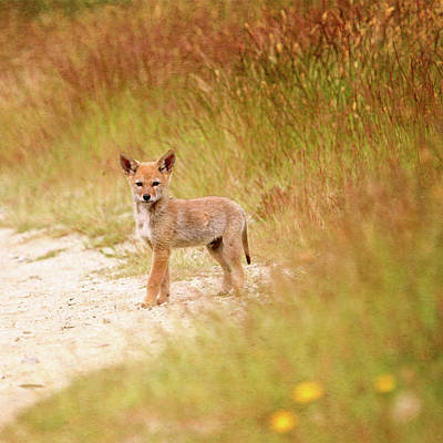 Photograph - Coyote Pup On The Trail by Peggy Collins