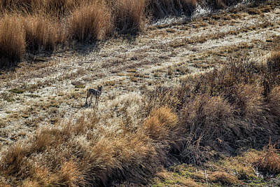 Photograph - Coyote Seen From The Buena Vista Overlook At Malheur Nwr by Belinda Greb
