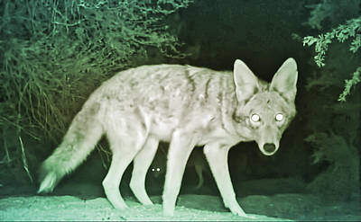 Photograph - Coyotes At Night by Judy Kennedy