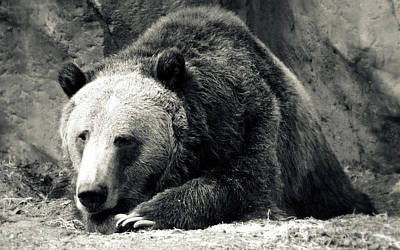 Photograph - Cozy Yet Deadly - Grizzly Bear by Glenn McCarthy Art and Photography