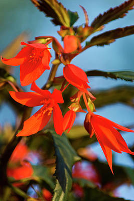 Photograph - Crackling Fire Begonia by Christina Rollo