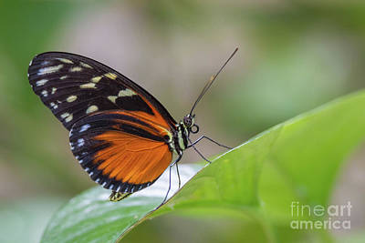 Photograph - Cream-spotted Tigerwing 3 by David Cutts