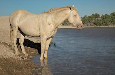 Photograph - Cremello Stallion by Kent Keller