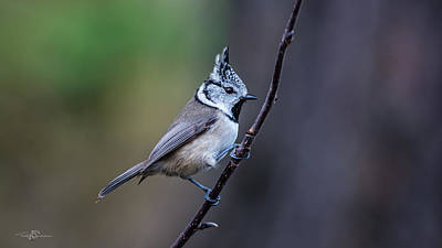 Photograph - Crested Tit On A Twig by Torbjorn Swenelius