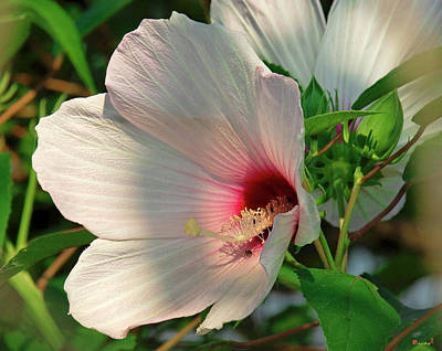 Photograph - Crimson-eyed Rosemallow Dsmf0104 by Gerry Gantt
