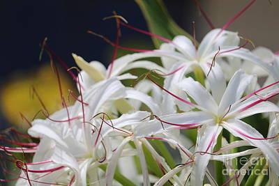 Photograph - Crinum Lily Closeup by Carol Groenen
