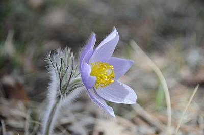 Photograph - Crocus by Susie Rieple