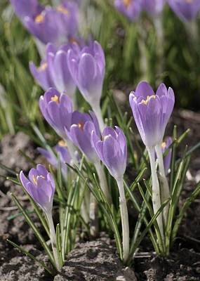 Olympic Sports - Crocuses #1 by Photography by Tiwago