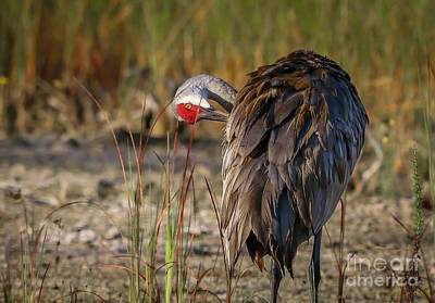 Photograph - Crooked Neck Sandhill by Tom Claud