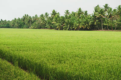 Kerala Photograph - Crop In A Field, Alleppey, Alappuzha by Exotica.im