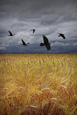 Photograph - Crows Over A Wheat Field by Randall Nyhof
