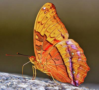 Photograph - Cruiser Butterfly - vindula arsinoe by John Frid