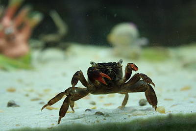 Animal Portraits - Crustacean by JB Stran