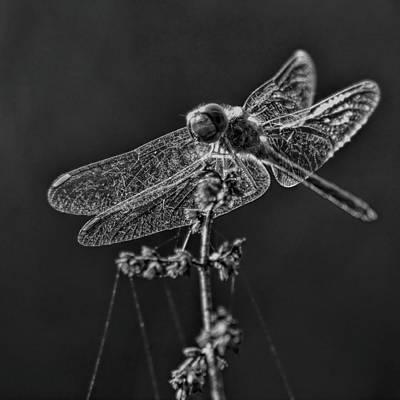 Photograph - Crystal Meadowhawk by Dale Kauzlaric