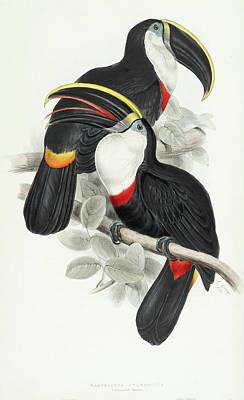 Culmenated Toucan Art Print