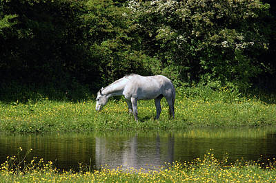 Photograph -  Cumbria. Ulverston. Horse By The Canal by Lachlan Main