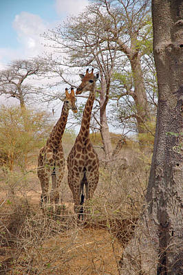 Photograph - Curious Giraffes  by Mark Duehmig