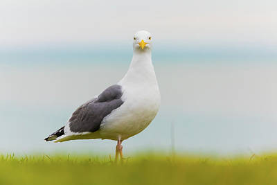 Sheep - Curious Gull  by Brian Knott Photography