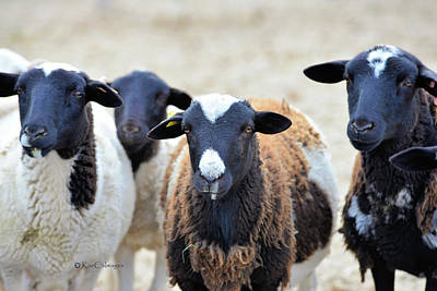 Photograph - Curious Hair Sheep by Kae Cheatham