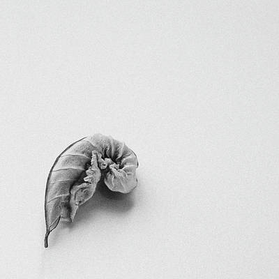 Photograph - Curled Leaf - Fine Art Photograph by Sabine Konhaeuser