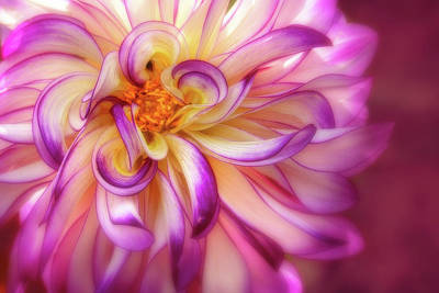 Photograph - Curly, Swirly Dahlia by Mary Jo Allen