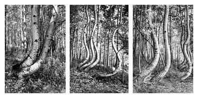 Impressionist Landscapes - Curved Aspens by Norma Brandsberg