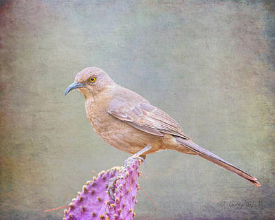 Photograph - Curved Bill Thrasher by Gerry Sibell