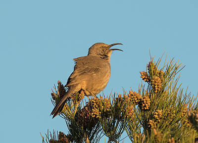 Photograph - Curved Billed Thrasher Singing by Loree Johnson