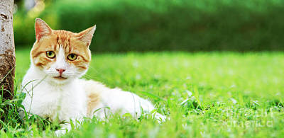 Photograph - Cute Domestic Ginger Cat Relax In Outdoor Garden.  by Jelena Jovanovic