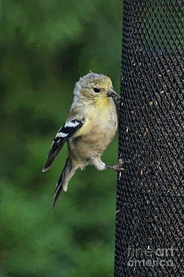 Photograph - Cute Goldfinch At Feeder by Carol Groenen