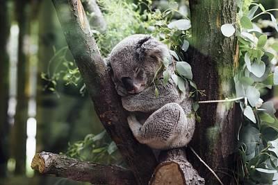 Photograph - Cute Koala  by Top Wallpapers
