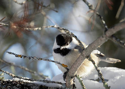 Photograph - Cute Little Chickadee by Susan Rissi Tregoning