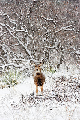 Steven Krull Royalty-Free and Rights-Managed Images - Cute snowy Colorado doe by Steven Krull