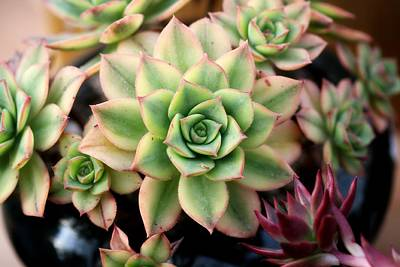Photograph - Cute Succulent by Top Wallpapers